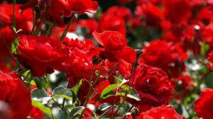 5 tysięcy róż w pałacowym ogrodzie