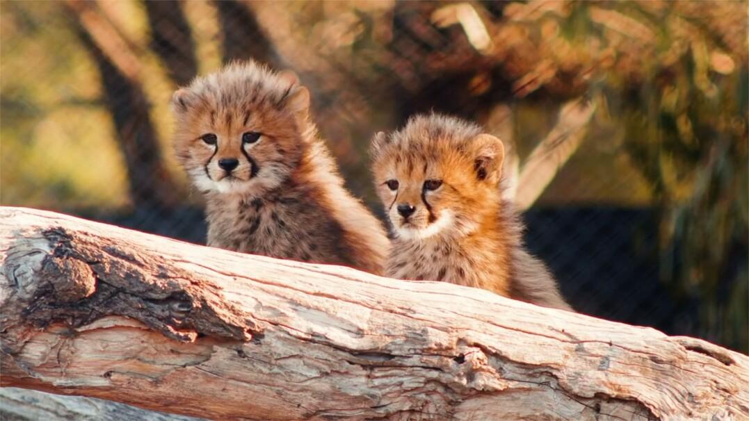 Szóstka słodkich maluchów zachwyca odwiedzających w zoo w Sydney