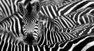 Dlaczego zebry mają paski?