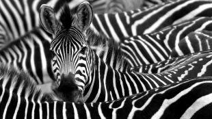 Dlaczego zebry mają paski? Bo trudno na nich wylądować